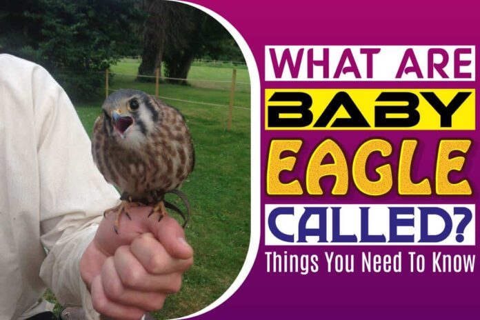 What Are Baby Eagle Called