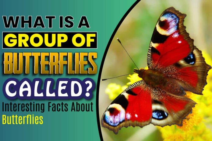What Is A Group Of Butterflies Called