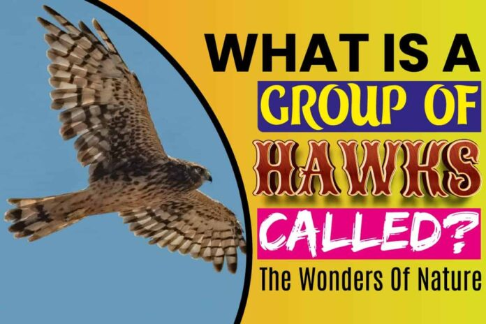 What Is A Group of Hawks Called