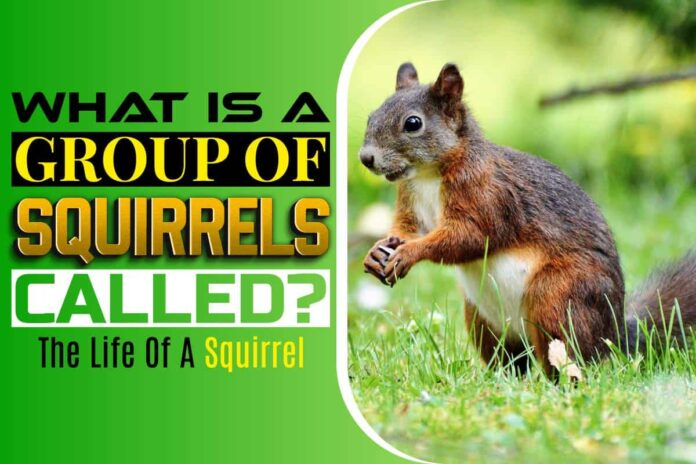 What is a group of Squirrels called
